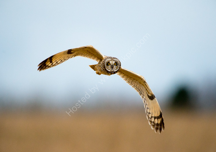 Close call with short eared owl