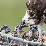 Close up Osprey feeding chicks