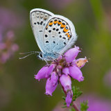 Close up silver studded blue