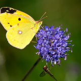 Clouded yellow female