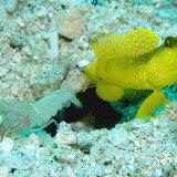 Companion Shrimp and Gobie