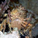 Crab shedding eggs