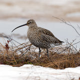 Curlew on ice