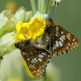Duke of burgundy mating