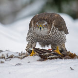 Female Goshawk on grouse
