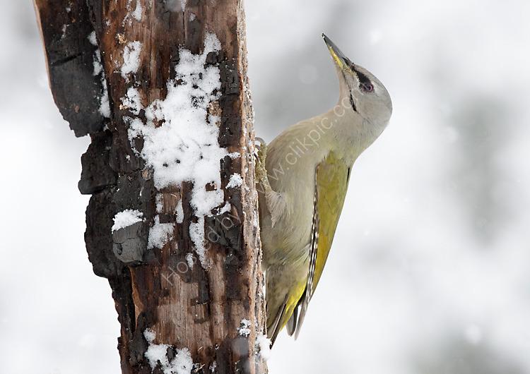 Female Grey Headed Woodpecker