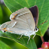 Female Purple Hairstreak part open