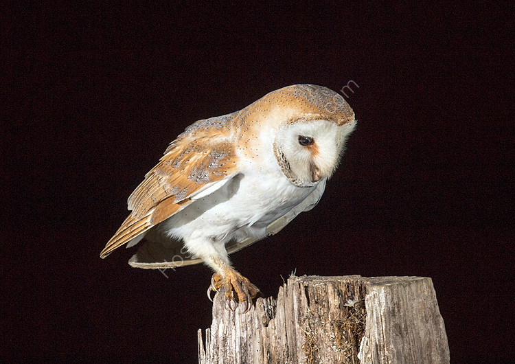 Female barn owl