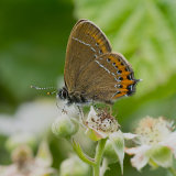 Female black hairstreak