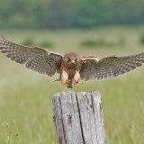Female kestrel landing