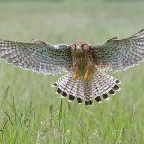 Female kestrel over grass