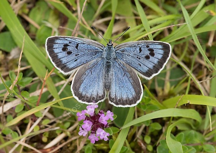 Female large blue