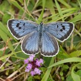 Female large blue
