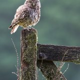 Female little owl on gate