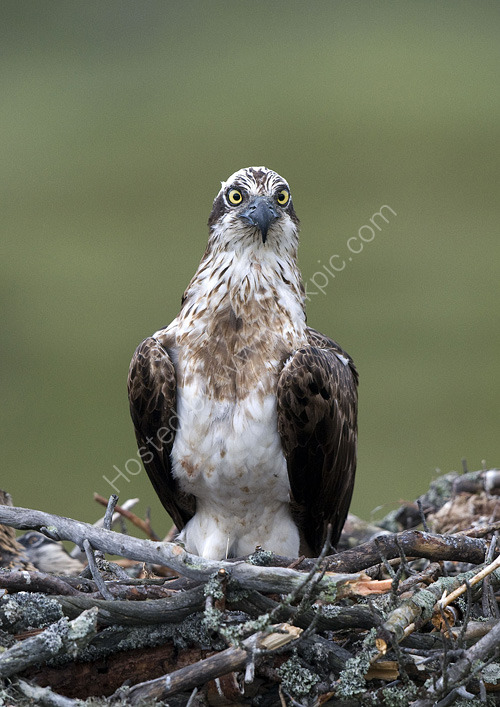 Female osprey alarmed