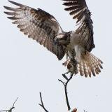 Female osprey with stick