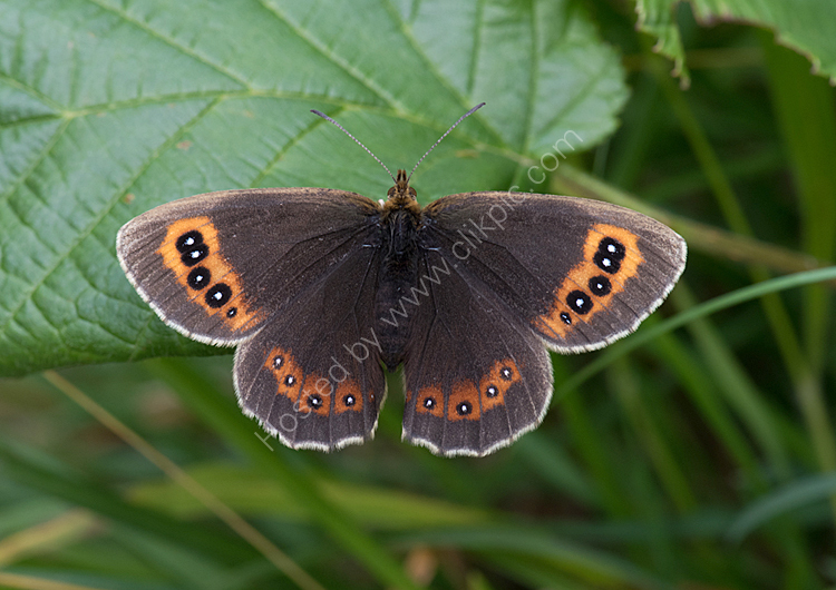 Female scotch argus