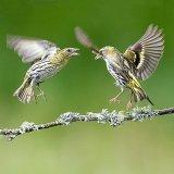 Female siskin fighting
