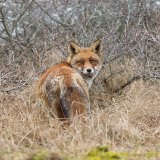 Fox in scrub
