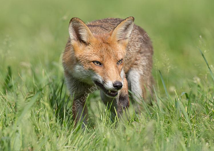 Fox in the sunshine