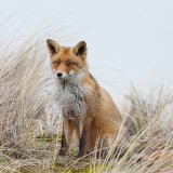 Fox sitting in dunes