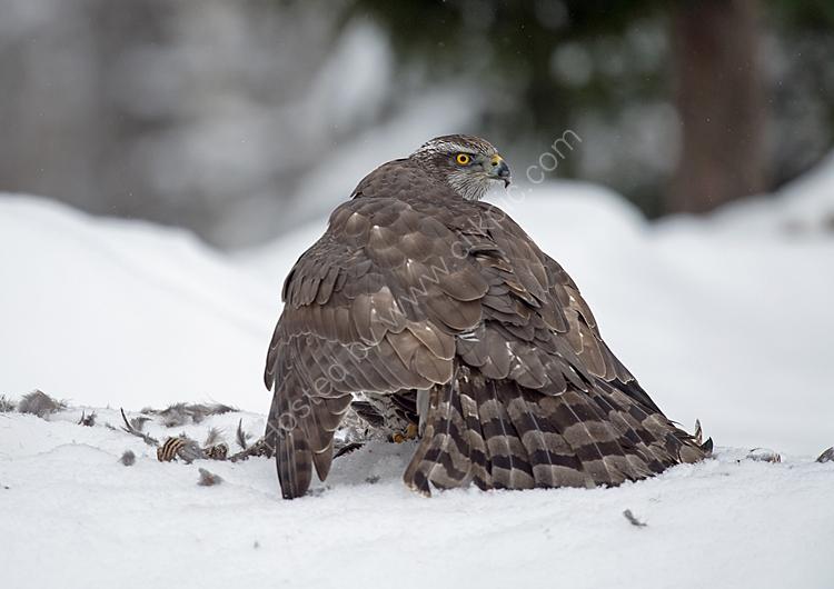 Goshawk hiding prey from ravens