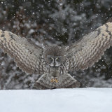 Great Grey Owl  and  bait