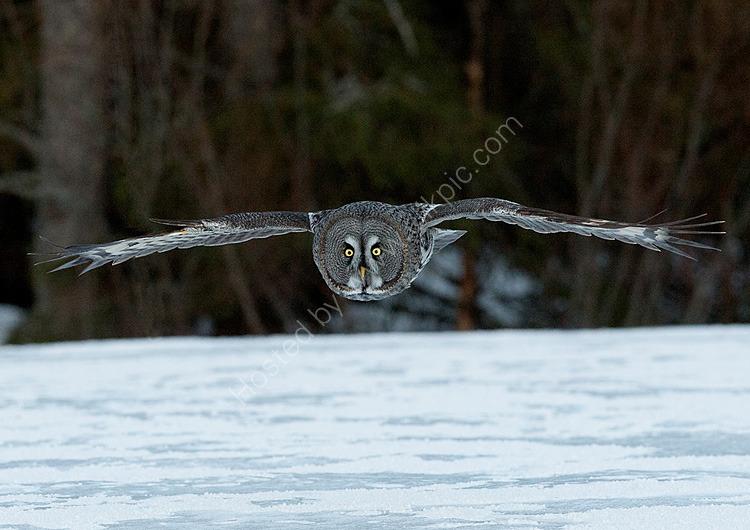 Great Grey Owl hunting