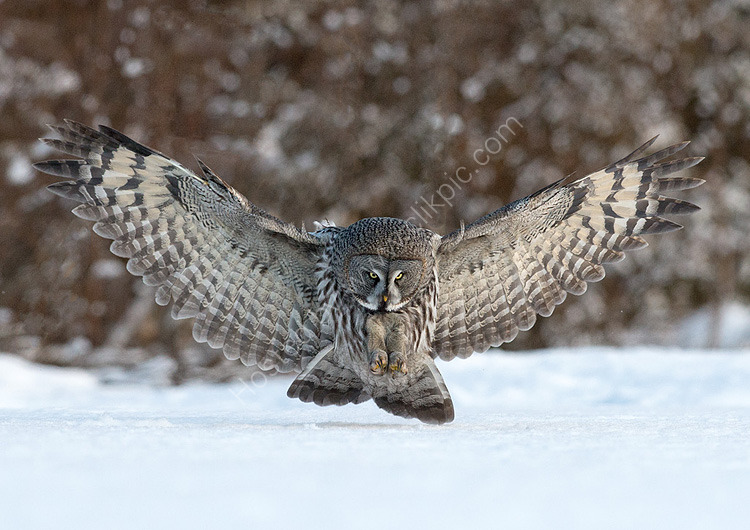 Great Grey Owl ready to pounce
