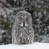 Great Grey Owl with snow falling