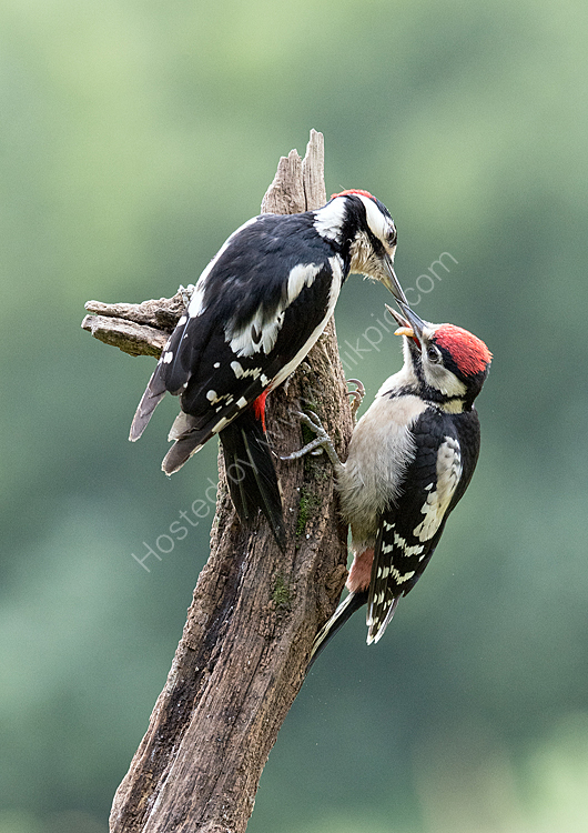 Great spot feeding young