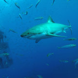 Great white and submersible cage