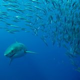 Great white in fish shoal