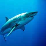 Great white on turn