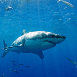 Great white shark on surface