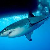 Great white shark under boat