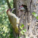Green woodpecker feeding chick
