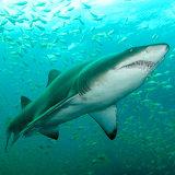 Grey Nurse Shark swimming through Big Eyes