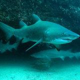 Grey Nurse Sharks Magic Point Sydney NSW