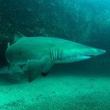 Grey Nurse shark Magic Point Sydney
