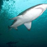 Grey Nurse shark North Rocks NSW