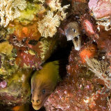 Grey and yellow moray eels