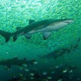 Grey nurse sharks and Big eyes NSW