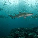 Group of Grey Nurse sharks NSW