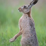 Hare on back legs