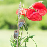 Harvest mice in poppies and wheat