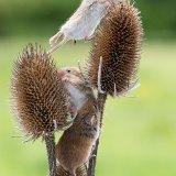Harvest mice on teasels