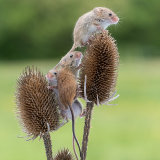 Harvest mice playing on teasel