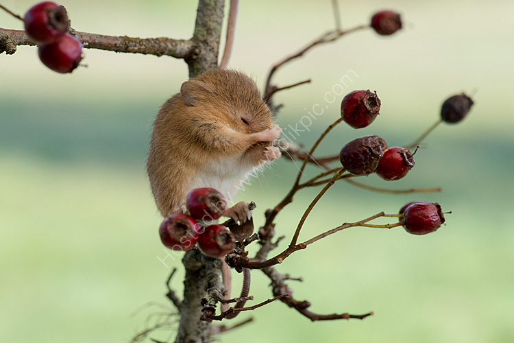 Harvest mouse cleaning