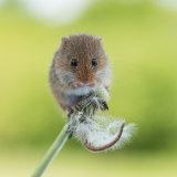 Harvest mouse eating dandelion